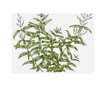 louiza-aroma-lemoniou-votano-ingolden.gr