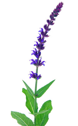 faskomilo-elliniko-vlastari-sage-flower--ingolden.gr