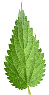 Nettle-Leaf-rotated.pngtsouknida-dealway.ge-ingolden.gr