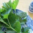 Τσουκνίδα, βότανο για υγεία και ομορφιά!