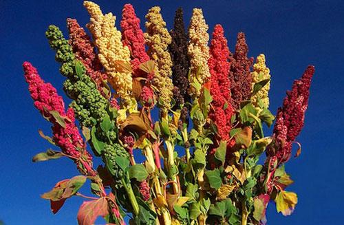Kinoa-i-xrysi-trofi-quinoa-inGolden.gr.jpg-mageiriki-ygeia-proteines-xrisi-trofi.thamnos-xromata