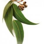 eykalyptos-votana-ingolden.gr