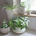Φυτά εσωτερικού χώρου που καθαρίζουν την ατμόσφαιρα