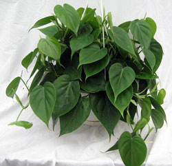 philodendron-ingolden.gr