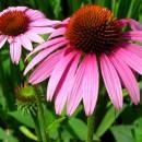 Εχινάκεια, το θεραπευτικό φυτό