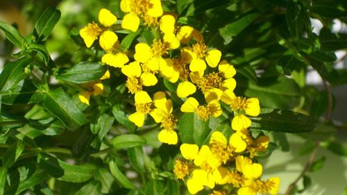 estragon-Artemisia-dracunculus-ingolden.gr-dealway.gr