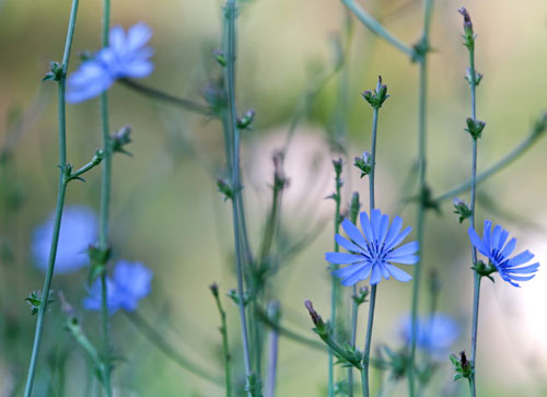 anthoiamata-bach-chicory-ingolden.gr