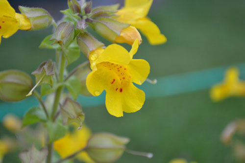 anthoiamata-bach-mimulus-ingolden.gr