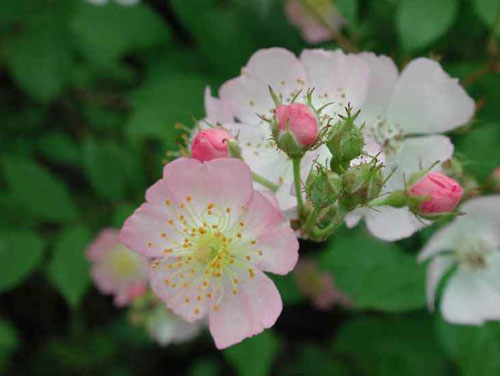 anthoiamata-bach-wild-rose-ingolden.gr