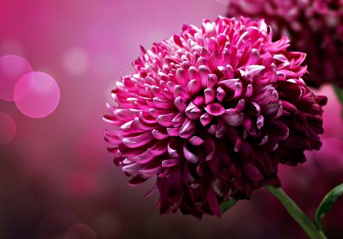 opou-mas-othigoun-oi-skepseis-flower-pink-fouxia