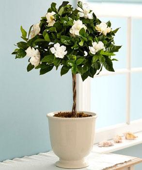 gardenia-to-evodiasto-fyto-ingolden-gr