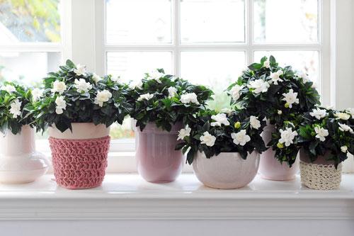 gardenia-to-evodiasto-fyto2-ingolden-gr
