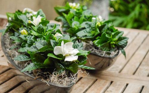gardenia-to-evodiasto-fyto3-ingolden-gr