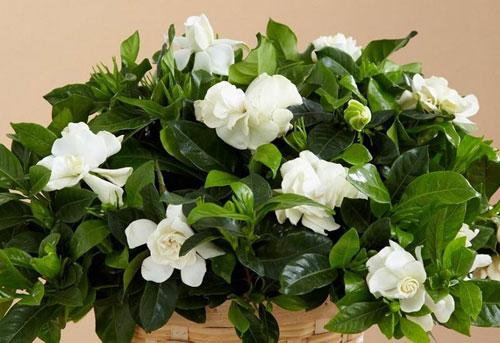 gardenia-to-evodiasto-fyto4-ingolden-gr