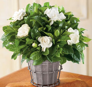 gardenia-to-evodiasto-fyto5-ingolden-gr