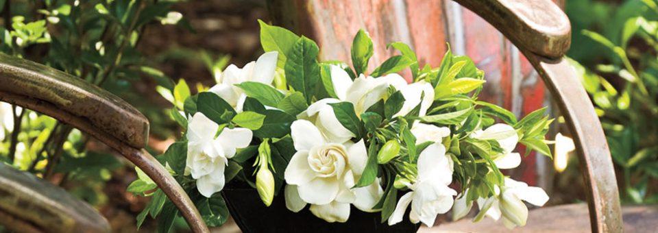 Γαρδένια, το ευωδιαστό φυτό