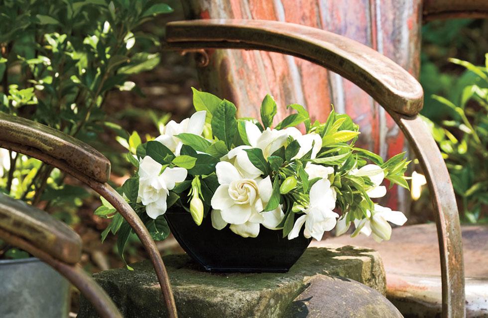 gardenia-to-evodiasto-fyto6-ingolden-gr