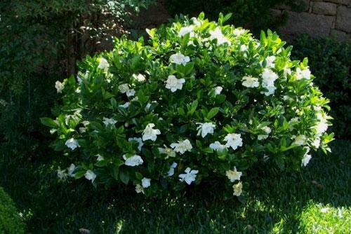 gardenia-to-evodiasto-fyto8-ingolden-gr