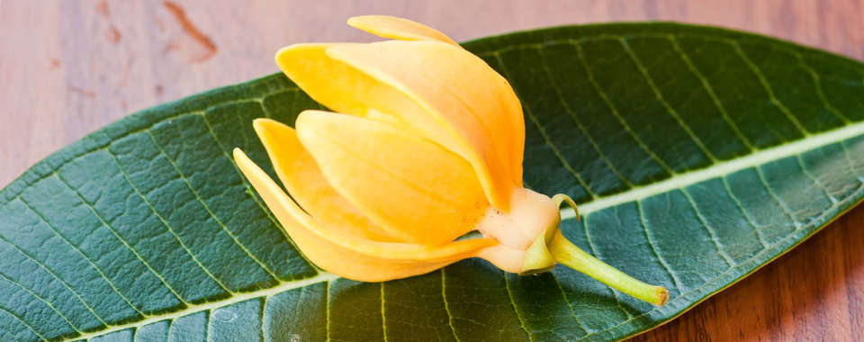 Ylang-Ylang-aitherio-elaio-fyto-flower