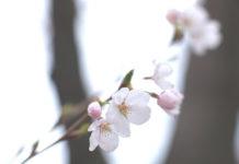 einai=anoiksi-amigdalia-spring-light-cherry-sky-quotes-ritsos-ingolden.gr